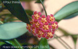 Hoya davidcummingii GPS 10050 unrooted cutting