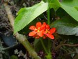 Jatropha podragica ROOTED PLANT