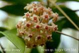 Hoya verticillata GPS 166 Bogor unrooted cutting