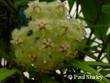 Hoya erythrina GPS 10143 unrooted cutting
