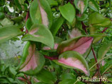 Hoya carnosa 'Tricolor' GPS 10227 unrooted cutting