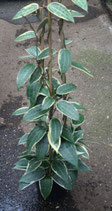 Hoya macrocarpa variegata GPS 10330 unrooted cutting