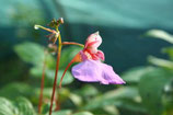 Impatiens flanaganae unrooted cutting