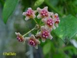 Hoya diversifolia el-nidicus GPS 10013 ROOTED cutting