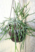 Rhipsalis teres R414 unrooted cutting