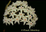 Hoya parasitica GPS 206 unrooted cutting