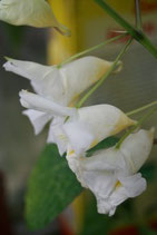 Impatiens arguta Alba unrooted cutting