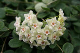 Hoya serpens GPS 142 unrooted cutting