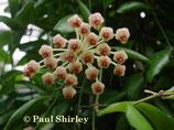 Hoya sp. Sulawesi GPS 7752 unrooted cutting