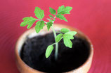 Bio-Tomapten-Jungpflanze