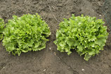bio-Salat verschiedene Sorten, Stk.