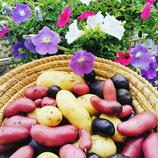 Bio-Kartoffeln bunt, Rarität, kg