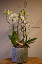 """Weisse Orchidee garniert im Topf """" Jenny"""" green"""