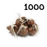 1 000 bulbos calibre 7-8