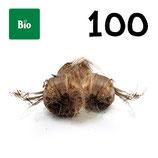100 bulbos bio calibre 8-9