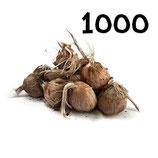 1000 bulbos calibre 10-11