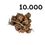 10 000 bulbos calibre 8-9