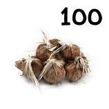100 bulbos calibre 7-8