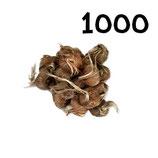 1 000 bulbos calibre 8-9