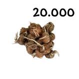 20 000 bulbos calibre 8-9