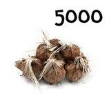 5 000 bulbos calibre 7-8