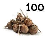 100 bulbos calibre 10-11