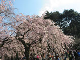 2020年3月5日(木)新宿御苑ウォーク研修