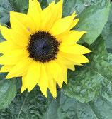 Sonnenblumen malen