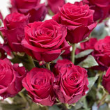 """Ein Duzend Rosen rot, """"Explorer"""""""