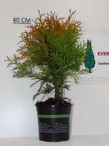 Thuja Occidentalis  'Golden Globe""