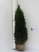 Thuja occidentalis 'Smaragd' .