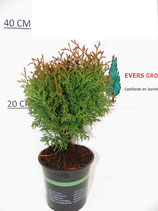 Thuja Occidentalis  'Danica""