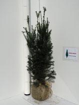 Taxus Hicksii