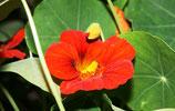 Eetbare bloemen - oostindische kers