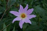 Dahlia spectabilis