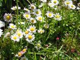 Echtes Gänseblümchen (Bellis perennis)