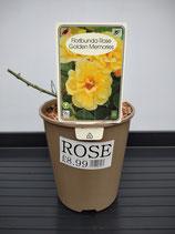 Floribunda - Golden Rose