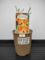 Hybrid Tea Rose - 'Simply The Best'