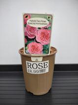 Hybrid Tea Rose - 'Special Anniversary'