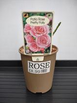 Patio Rose 'Pretty Polly'