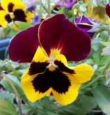 Pansy - 6 Pack Bedding