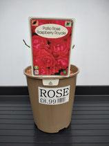 Patio Rose 'Raspberry Royale'