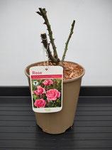 Hybrid Tea Rose - 'Special Anniversary ™ ('Whastiluc')