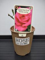 Hybrid Tea Rose - 'All My Loving'