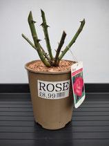 Hybrid Tea Rose - 'Gaujard ('Gaumo')'