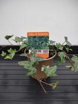 Tub & Basket - Ivy 'Saggitifolia'