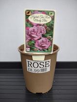 Hybrid Tea Rose - 'Moody Blue'