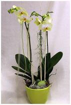 Orchidee / Phalaenopsis
