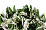 Olivenblätter BIO geschnitten