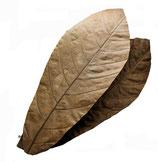 Cacao-Blätter 10 Stück